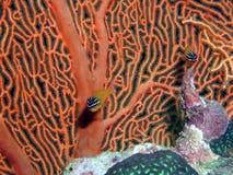 cardinalfishkorall arkivfoto