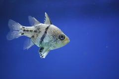 cardinalfishpyjama Royaltyfri Bild