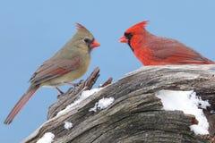 Cardinali nordici Immagine Stock