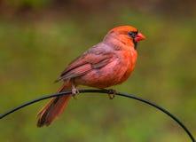 Cardinalidae, Mannelijk HoofdBird stock afbeelding