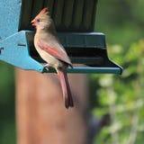 Cardinalis cardinais do norte fêmeas de Cardinalis com crista vermelha foto de stock