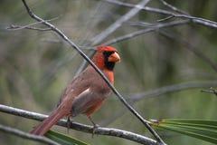 Cardinalis cardinais vermelhos brilhantes de Cardinalis com ramos e folha de palmeira desencapados Fotografia de Stock