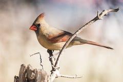 Cardinalis cardinales septentrionales femeninos de Cardinalis Fotografía de archivo