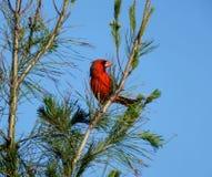 Cardinalis cardinaux du nord de Cardinalis Image stock