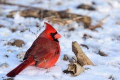 Cardinaliscardinalis royalty-vrije stock afbeeldingen