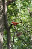 cardinals 2 Стоковое Изображение RF