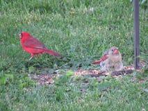Cardinals Stock Images