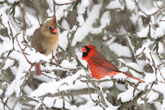 Cardinals In Snow Stock Photography
