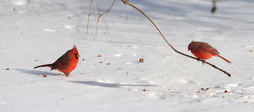 Cardinals on Snow Royalty Free Stock Image