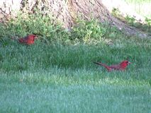 Cardinals Royalty Free Stock Photography