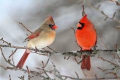 Cardinaux dans la neige Photographie stock libre de droits