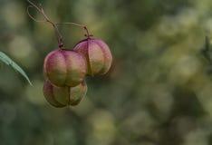 Cardiospermum Halicacabum or baloon vine stock photo