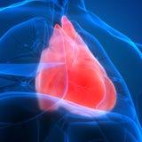 Cardiovasculair het Systeemhart van menselijk Lichaamsorganen met de Anatomie van de Zwezerikklier stock illustratie