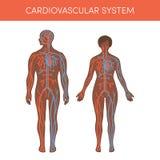 Cardiovasculair systeem stock illustratie