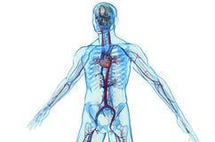 Cardiovascular ilustração royalty free