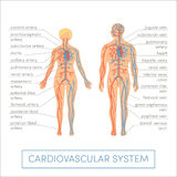 Cardiovascular system. Of a human. Cartoon  illustration for medical atlas or educational textbook. Male and female physiology Royalty Free Stock Photos
