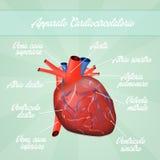 Cardiovascular system Stock Photography
