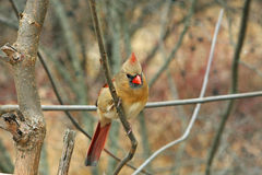 Cardnial Female. Cardinal Female Perched On Side Of Tree In Morning Royalty Free Stock Photos