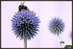 Cardo azul Foto de archivo libre de regalías