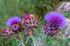 Cardo, cardunculus do Cynara, arranjo do close-up da flor Imagens de Stock