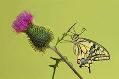Cardo con el swallowtail Fotos de archivo