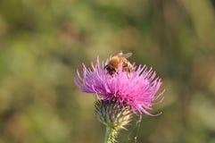Cardo con la abeja Imagen de archivo libre de regalías