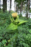 Cardo da couve (oleraceum do Cirsium) Imagens de Stock