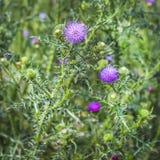 Cardo da planta medicinal espinhoso (lat Acanthoides L do Carduus ) Foto de Stock