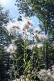 Cardo de arrastramiento con el mechón plumoso en la sol foto de archivo