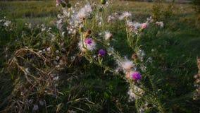 Cardo de arrastramiento o cerda-cardo rosado Nombre latino - arvense del Cirsium almacen de video