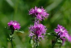 Cardo de campo (heterophyllum del ?irsium) y abeja Foto de archivo