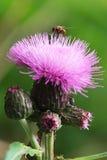 Cardo de campo (heterophyllum del ?irsium) y mosca Foto de archivo libre de regalías