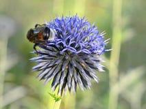 Cardo de globo azul con el abejorro Foto de archivo