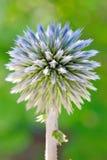Cardo de globo azul (Echinops) Foto de archivo libre de regalías