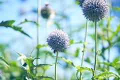 Cardo de globo azul en la floración Imagen de archivo libre de regalías