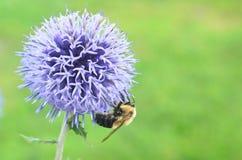 Cardo de globo azul de polinización del resplandor del banaticus del Echinops de la abeja de la miel Foto de archivo libre de regalías