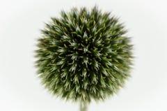 Cardo de globo branco do foco macio no fundo branco Imagem de Stock