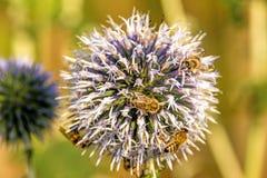 Cardo de globo con las abejas Fotografía de archivo