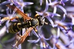 Cardo de globo con una abeja Fotografía de archivo libre de regalías