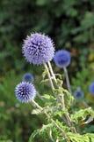 Cardo de globo o planta del echinops Imagen de archivo