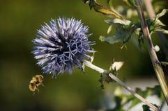 Cardo de globo w/bumblebee Fotos de archivo