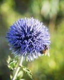 Cardo de globo y abeja púrpuras brillantes Imágenes de archivo libres de regalías