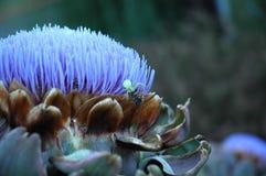 Cardo de la alcachofa Imágenes de archivo libres de regalías