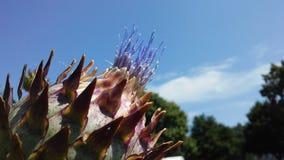 Cardo de la alcachofa, Cynara Cardunculus que florece en luz del sol brillante Fotos de archivo