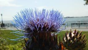 Cardo de la alcachofa, Cynara Cardunculus que florece en luz del sol brillante Fotografía de archivo