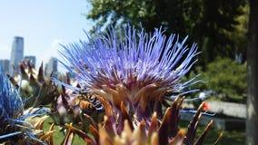 Cardo de la alcachofa, Cynara Cardunculus que florece en luz del sol brillante Imagenes de archivo