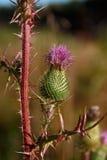Cardo de la flor Foto de archivo libre de regalías
