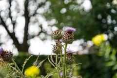 Cardo de leche en la plena floración que crece en el jardín Fotografía de archivo libre de regalías