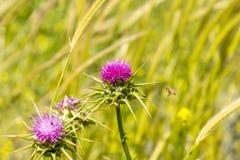 Cardo de leche (iberica del Centaurea) con una abeja el la primavera Imágenes de archivo libres de regalías