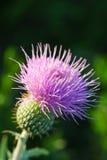 Cardo de Wavyleaf - undulatum del Cirsium Foto de archivo libre de regalías